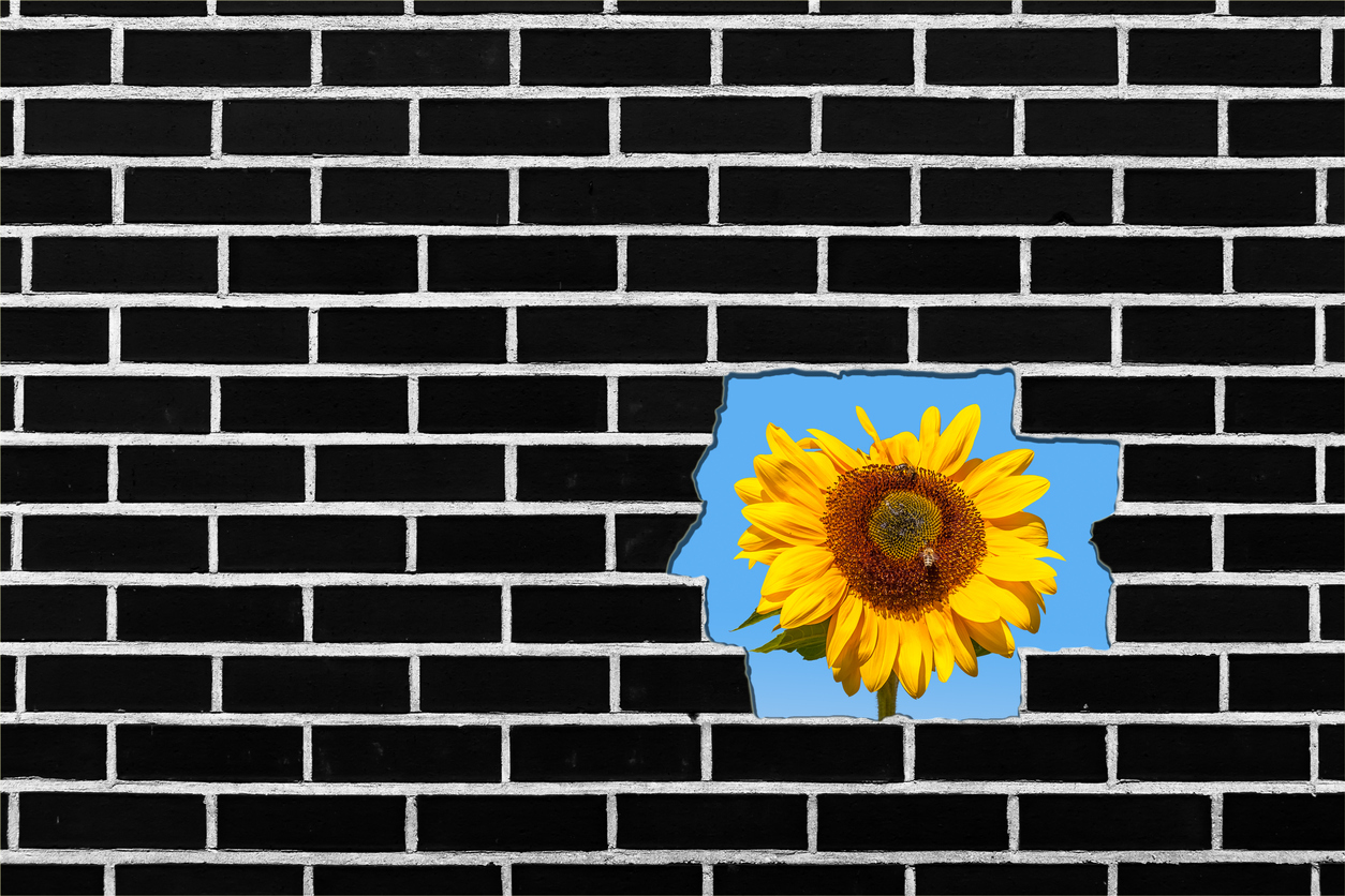 Sunflower growing Behind a Brick Wall, Copy Space on the Left